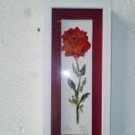 Rosa Enmarcada